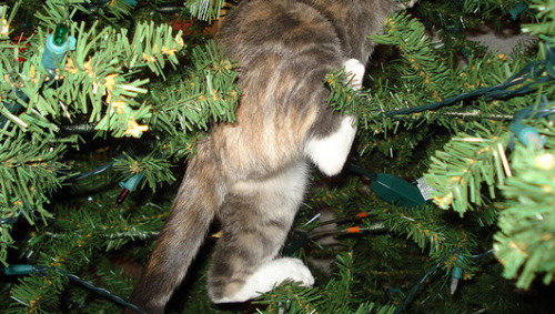 mothernaturenetwork:  Most cats love Christmas. There's ribbon to chase, wrapping paper to shred and all those boxes to hide in. And then there's the tree. With tinsel to bat, ornaments to swat and branches to climb, the Christmas tree just might be a cat's favorite part of the holidays.25 cats in, on and under Christmas trees