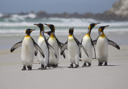 funnywildlife:  Falklands by richard.mcmanus. on Flickr. King Penguins on the beach at Volunteer Point in East Falkland