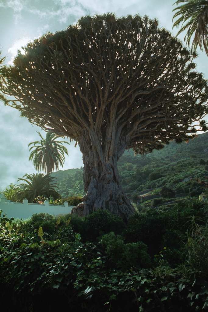 Ancient Dragon Tree