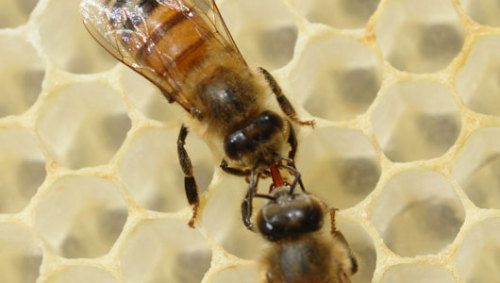 Best medicine for bees? Their own honey In a study, bees that ate honey chemicals showed activation in genes that are known to help bees fight parasites and break down pesticides.