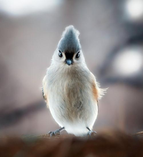magicalnaturetour:  Tuffled Titmouse by Miss Hen