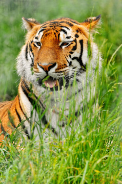 tigersareforever:  Tiger in the grass by Tambako the Jaguar on Flickr.
