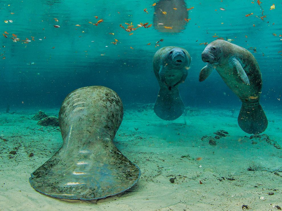nationalgeographicdaily:  Manatees, FloridaPhoto: Paul Nicklen
