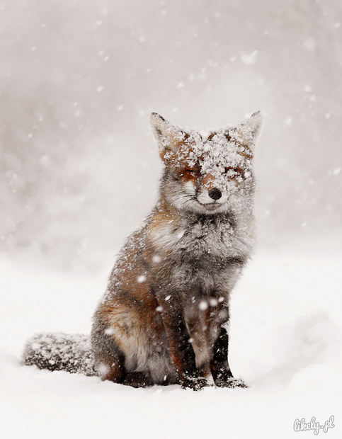 nprfreshair:  Pair it with this song. Happy snow day, lil foxes.
