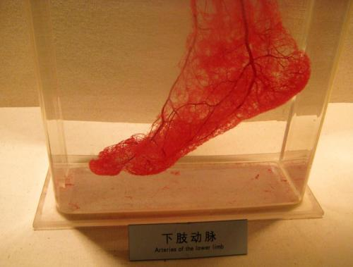 atomstargazer:  Arteries of the lower limb Shanghai Science and Technology Museum, China  Arterias de la extremidad inferior Museo de Ciencia y Tecnología de Shanghai, China
