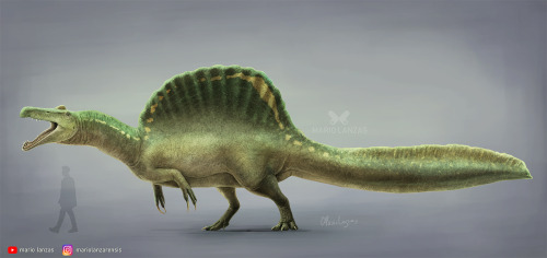 mariolanzas:SPINOSAURUS 2021New rendition of Spinosaurus featured on my video on Megalosauroidea dinosaurs. It's now also available for prints and more at Redbubble.InstagramYoutube ChannelPatreonPrints and more paleoart merch #spinosaurus#paleoart#natural history#dinosaur