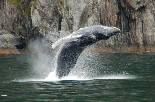 marinemammalblog:  Humpback whale breaching by jdegenhardt on Flickr.