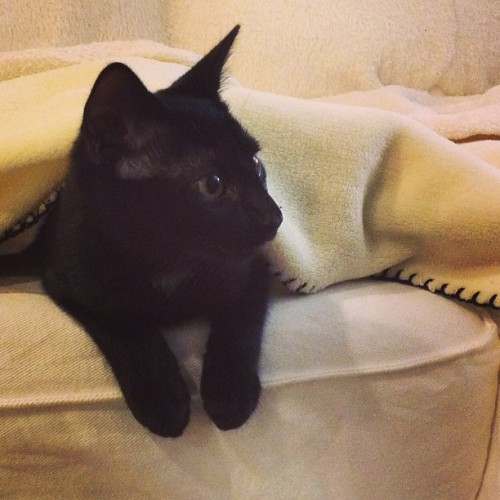 Martha #kitten peeks out from under a fleece throw on the couch.