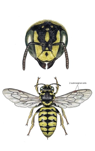 noelbadgespugh:  Dianthidium pudicum . . illustration for a book, Bees of California, with Gretchen LeBuhn of the Great Sunflower Project (www.greatsunflower.org) . .  being published by UC Press as part of their series, California Natural History Guides.