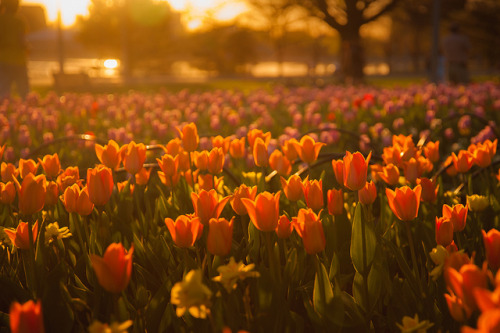 senerii:  tulip festival in ottawa by _muckraker_ on Flickr.