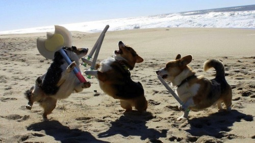 jump-the-shark:  letshope:  Corgi Sword Fight!  What is air…