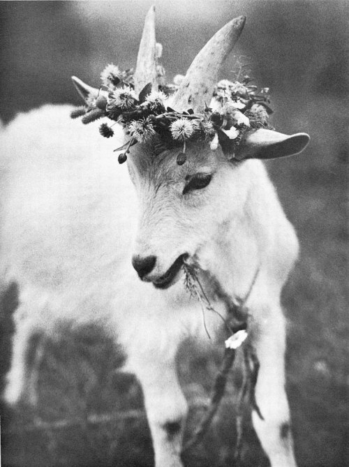 ladysaviours:  luckylucianas:  holystones:  #goats that deserve pretentious tag meta #swallowed a field and carries it with him always #literally covers itself in the iconography of a field embodies it in everyway and draws its power from it #when all was taken from him he took it back???   #dark wings and dark words #weaponizes it's feminity via her crown #will tear her heart out with your hooves and laugh as she covers your lifeless body with the flowers #she ripped from the ground  #a lost kingdom beneath herhooves #detritus of her fallen empire lodged in the crevices #she crushes grass because the grass is her people #the people that tied her up #but she keeps the collar as a reminder of what once wa and can never be again #she's her own masteR