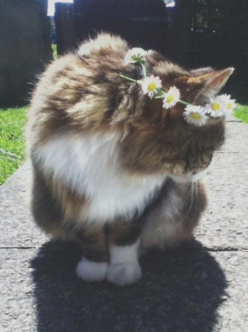 crystvllized:  g-uccinigga:  Today I made Millie a daisy chain but she wasn't very appreciative of it  so cute!