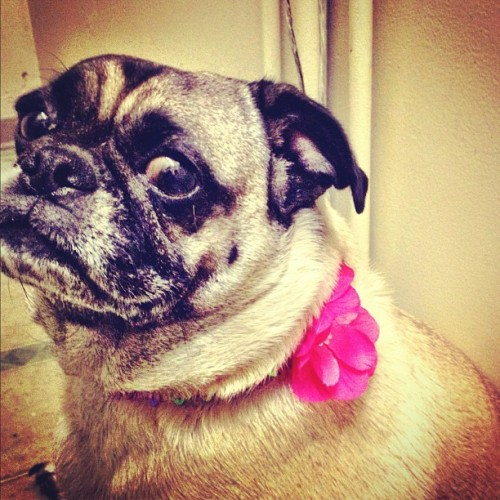 Sunshine is her name! Please follow @writingbymatt ! #pugs #pug #pugsofinstagram