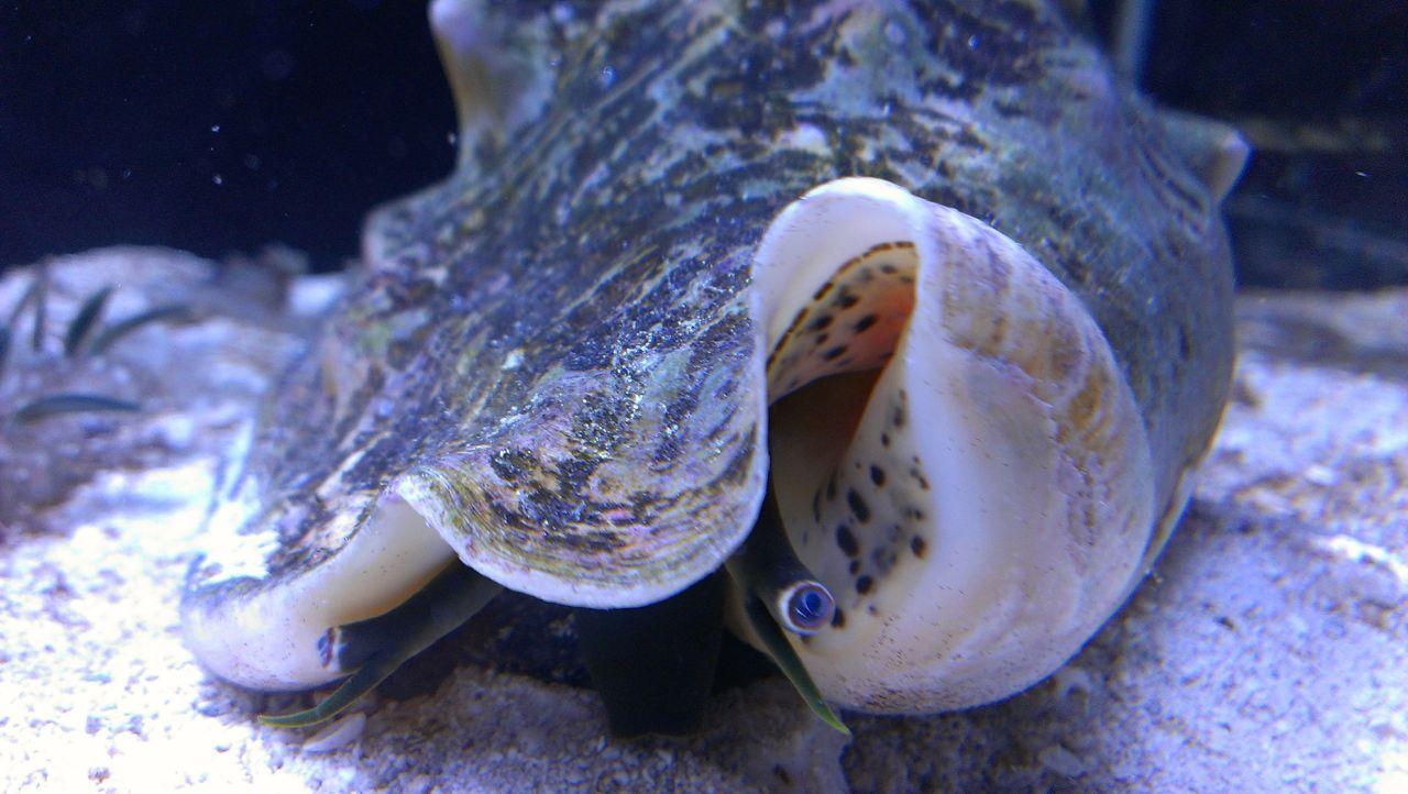 Saltwater Queen Conch