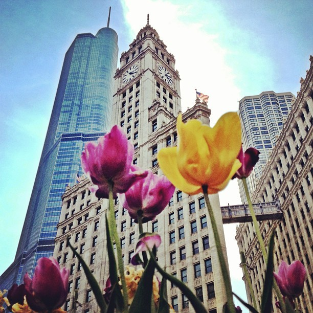 Tiptoe through the tulips (at Wrigley Building)