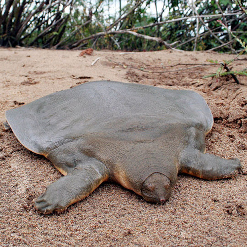 monetizeyourcat:  herplove:  Cantor's Softshell Turtle is a freshwater turtle, native to Cambodia, which can grow up to 6 feet in length. It spends 95 percent of its life buried and motionless in the sand surfacing twice a day to take a breath.  what  You're welcome world.