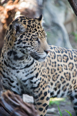 sdzoo:  Jaguar by Solvent.Solution