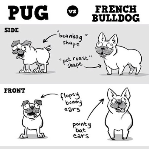 Omg!!! Awesome! Pug vs. French Bulldog #frenchie #frenchbulldog #bulldog #pug