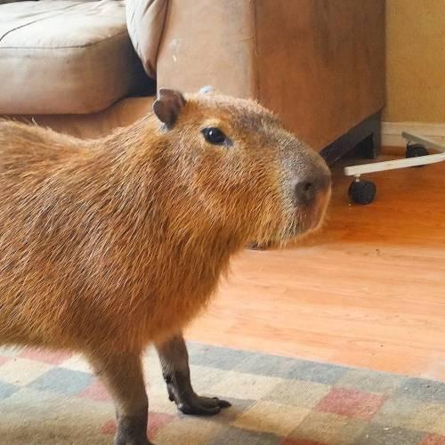 joejoe-the-capybara:  #capybara