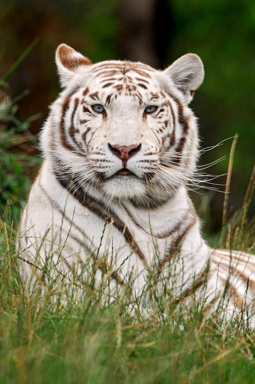 magicalnaturetour:  Posing white tiger by Tambako the Jaguar