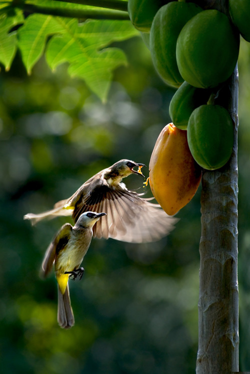 "ecogboutique:  Image source: Papaya Breakfast by ~SAMLIM on deviantART ~ ""The earth has music for those who listen."""