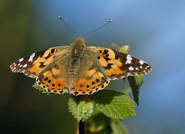 Painted Lady on Flickr.