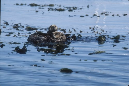 Why are sea otter numbers declining or stagnant? Scientists would love to know.  Learn more in Countdown to Cuteness—and you could win! Check it out via your Desktop.  Via your mobile.