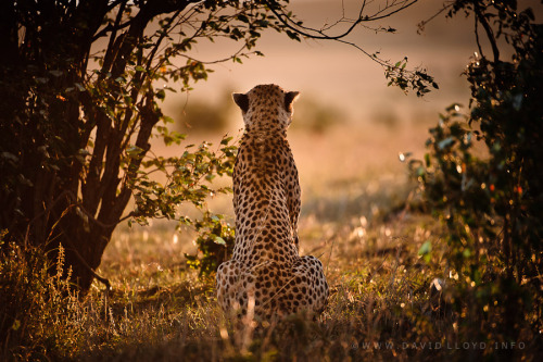 A Cheetah's Sunset by David Lloyd   He was one of three brothers, and I caught him watching the sun go down one evening in the Masai Mara.