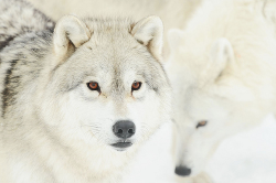 earthlynation:  Arctic Wolf