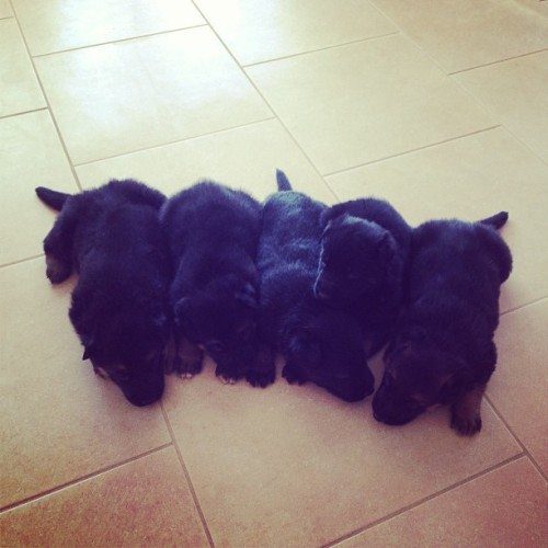 Line of puppies #cute #puppies #germanshepherd #fluffy
