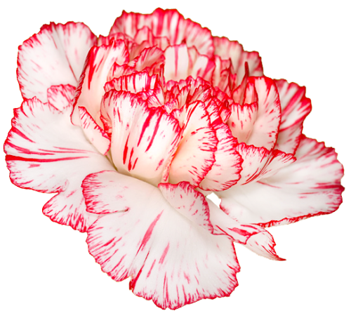 transparent-flowers:  Carnation. Dianthus caryophyllus. (x).