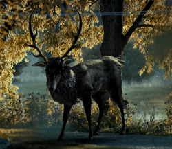 Often described as deer-like or bearing the head of a stag, the wendigo (also known as windigo, weendigo, windago, waindigo, windiga, witiko, wihtikow, and numerous other variants)[1] is a creature appearing in the legends of theAlgonquian peoples. It is thought of variously as a malevolent cannibalistic spirit that could possess humans or a monster that humans could physically transform into. Those who indulged in cannibalism were at particular risk,[2] and the legend appears to have reinforced this practice as a taboo. Wendigo psychosis is the name conventionally given to a disputed culture-bound disorder featuring an intense craving for human flesh and the fear that the sufferer would turn into a cannibal. This was alleged to have occurred among Algonquian native cultures.[3] Recently the wendigo has also featured in modern horror fiction. There are also many camp stories about the Wendigo.