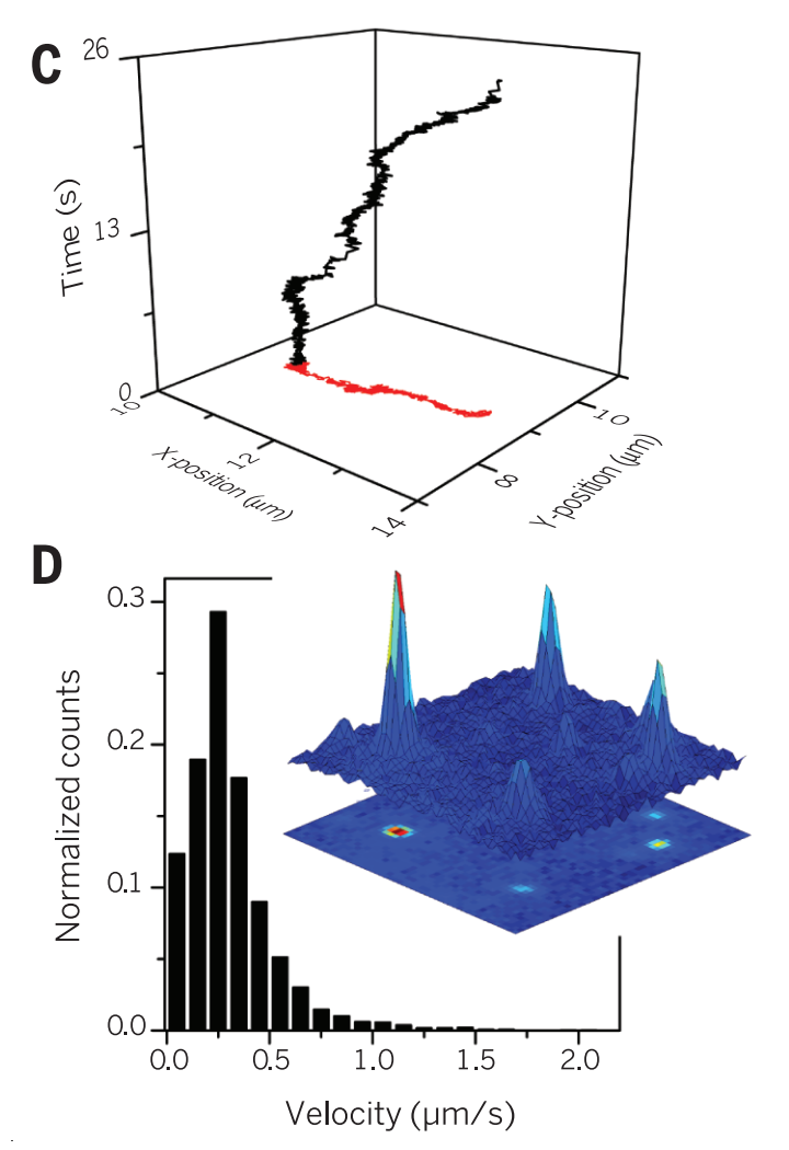 """Molecular motions inside the cell A paper inSciencethis week describes the use of carbon nanotubes to pinpoint the movements of the living cell in fine detail, making for a really nice study in quantitative/mathematical biology.  Noninvasive tracking was accomplished by imaging highly stable near-infrared luminescence of single-walled carbon nanotubes targeted to kinesin-1 motor proteins in COS-7 cells. We observed a regime of active random """"stirring"""" that constitutes an intermediate mode of transport, different from both thermal diffusion and directed motor activity. High-frequency motion was found to be thermally driven. At times greater than 100 milliseconds, nonequilibrium dynamics dominated. In addition to directed transport along microtubules, we observed strong random dynamics driven by myosins that result in enhanced nonspecific transport. We present a quantitative model connecting molecular mechanisms to mesoscopic fluctuations.  The """"mesoscopic"""" scale is more often seen in the context of pure and applied physics (microelectronics, nanofabrication and nanotechnology), though journals such asSoft Matterpresent research articles giving the same 'condensed matter' treatment to biological systems (""""Where physics meets chemistry meets biology""""). From ancient Greekμέσος it refers simply to a 'middle'/intermediate between the molecular and macroscopic scale, where neither atomistic/quantum nor classical physics/bulk models best describe observed behaviour, and novel effects may be described — frominterferenceeffects, toquantum confinement(giving rise toband gaps) and charging effects (such as the Coulomb blockade/staircase). Although often presented as a water-based solvent, the cytosol is more accurately described as a""""highly dynamic composite material """" with mechanical properties dominated by microtubules (MTs), F-actin and intermediate filaments; all driven by metabolism-energised polymerisation of actin and tubulin and from motor proteins (specifically nucleot"""