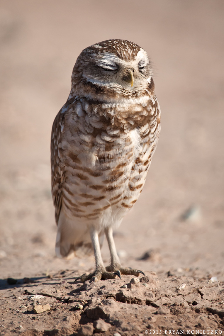 SLEEPY – Burrowing Owl/Salton Sea/2011/©Bryan Konietzko This is not only a personal favorite of my photos, but it was also one of my favorite photography experiences. Mac Danzig first took me out to the Salton Sea in California to show me the ropes on photographing burrowing owls and birds in general, and I got this and the previous shot a few months later when I went back on my own. Just hanging out with these birds, even without a camera, is a joy. They each had distinct personalities and varying and comedic reactions to my invasive presence. This little one was the most relaxed about it all. I think she (I *think* it was a she, but the real birders out there can correct me on that) didn't feel like hunting and just wanted to crawl back in her burrow and go back to sleep. More of my bird photos can be seen here.