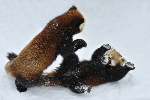 Panda play (by josefgelernter)