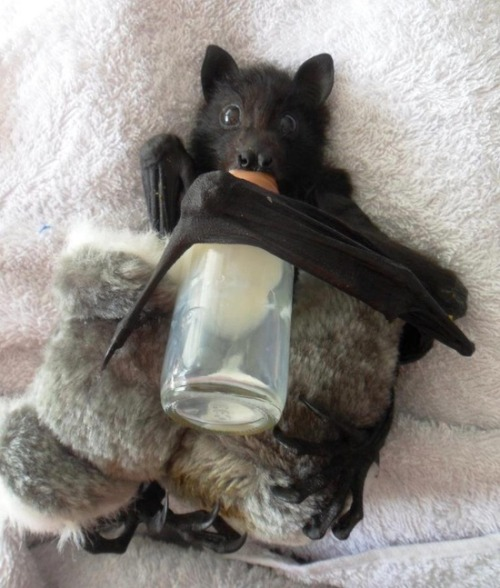catsbeaversandducks:  Omigod a baby bat with a bottle!!  *.* Photo via Imgur