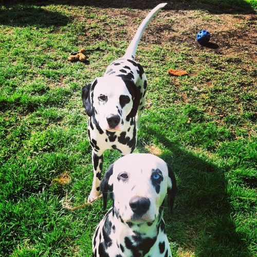 Play with Me! #dog #puppy#animal#dalmatian
