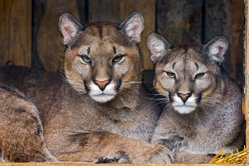 tigersandcompany:  Pumas (by Tambako the Jaguar)