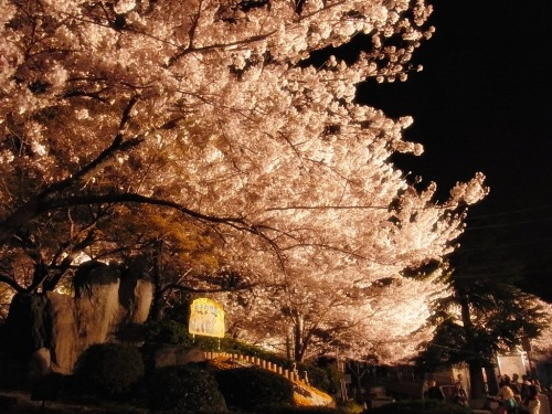 kumako365jp:  SAKURA in full bloom!:D