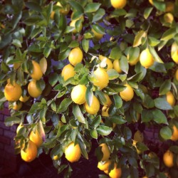 can't wait for the lemons to be ready for picking!