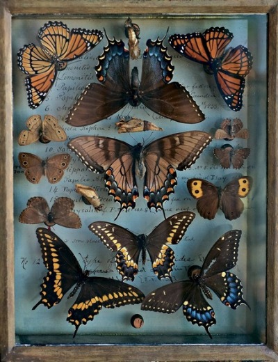 "featherandmoss:  A selection from the butterfly and moth collection of Titian R. Peale, a noted 19th century entomologist, from NY Times slideshow ""A Passion for Nature.""  Photo by Rosamond Purcell."
