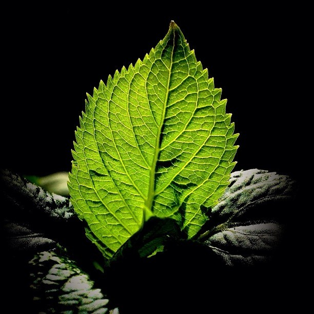 The backlit leaf #spring  (at Columbia University)