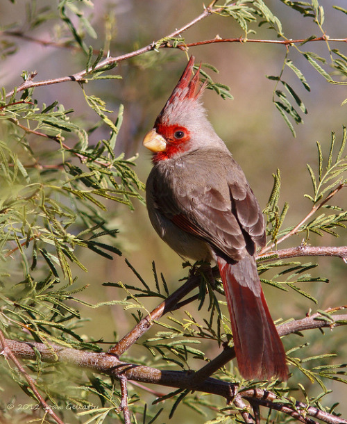 fat-birds:  Pyrrhuloxia by JoanGellatly on Flickr.
