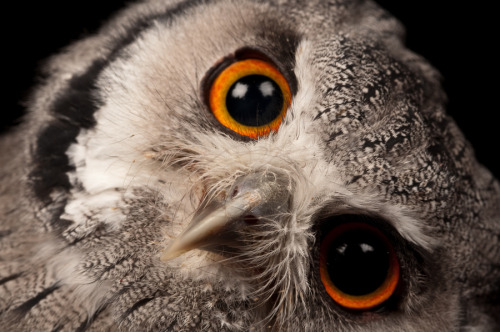 owlday:  White Faced Owl