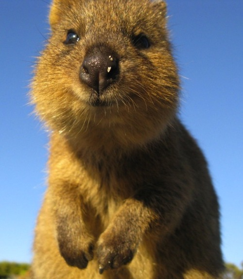 Aha this things called a quokka, it always looks like its smiling