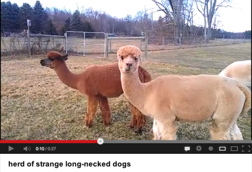 Those are alpacas.