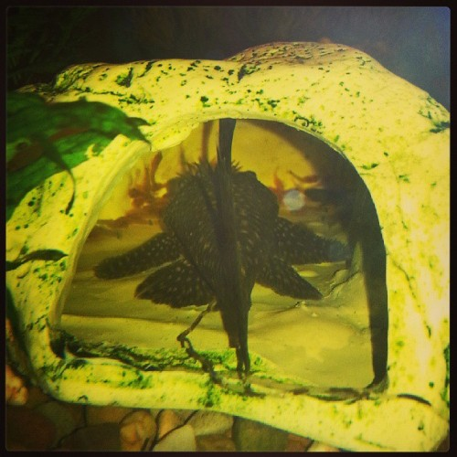 My male Bristlenose Pleco and his batch of 5 day old fry. #fishofinstagram #fishtank #pleco