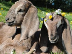 iice:  these goats are more about that life than i am