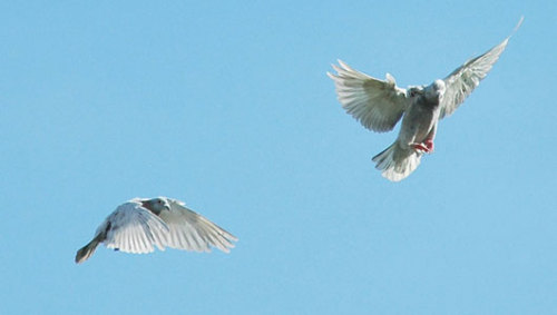Mystery of lost homing pigeons finally solved      New research suggests that the birds use low-frequency sound waves to make a mental map of their location.